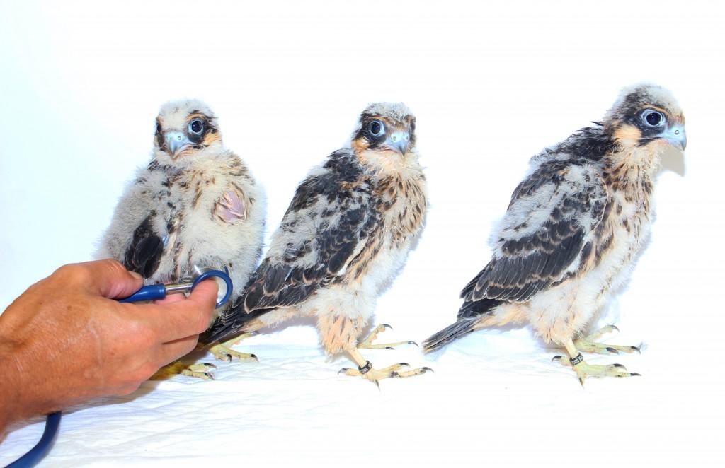 pediatria aviar