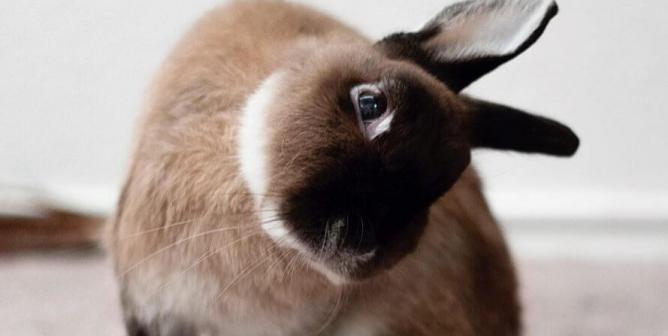 rabbit-head-tilt-668x336-1574790043