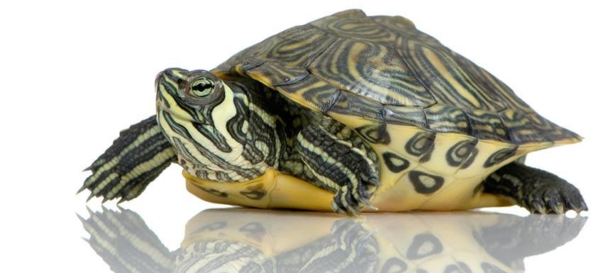 cabecera-tortugas-cuidados-02