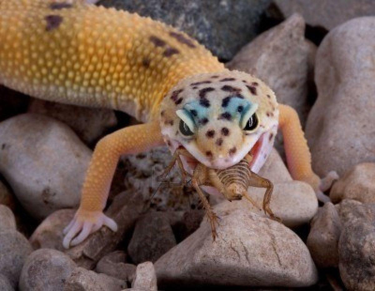 2525820-un-joven-gecko-leopardo-es-comer-una-cricket