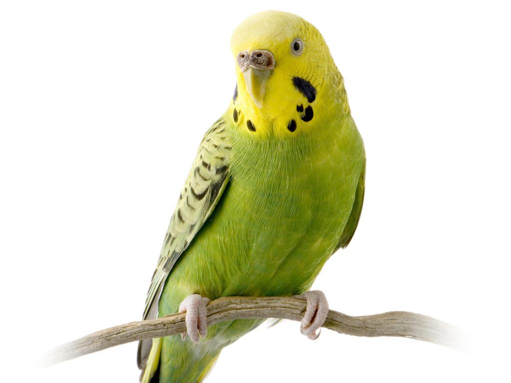 3D_Parakeet2