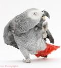 African Grey Parrot (Psittacus erithacus), regurgitating chewed up biscuit