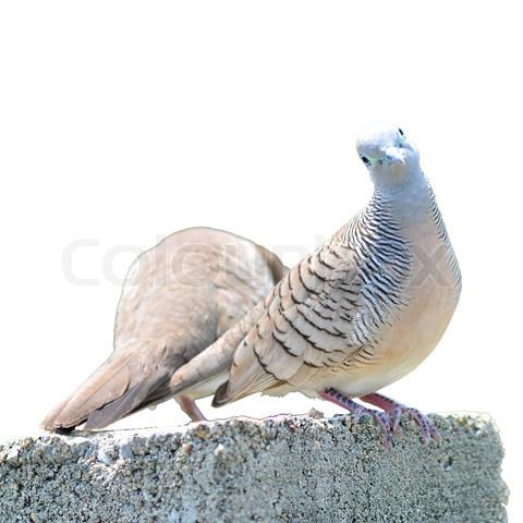 Zebra Dove Bird