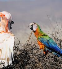 moluccan cockatoo parrot - 42