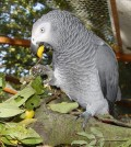 African_Grey_and_Crab_Apples