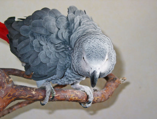 African_grey