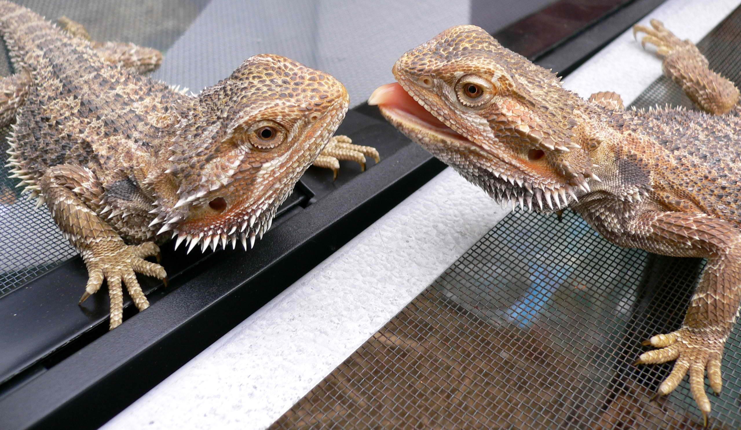 Australian_bearded_dragon