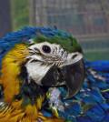 Baby_macaw_by_eskimoblueboy