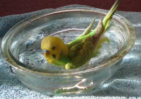 Budgerigar-bathing