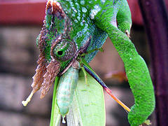 Chameleon-Eating-Grasshopper-Superstitions