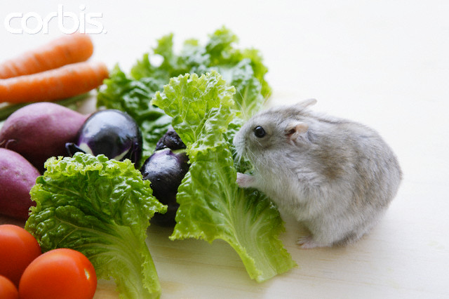 Hamster Eating Fresh Vegetables --- Image by © Bloomimage/Corbis