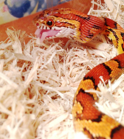 Corn_snake_eating_baby_mouse from wikipedia