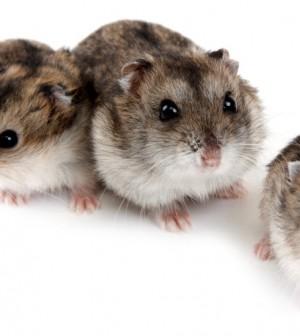 Dwarf russian hamsters shutterstock_51897007