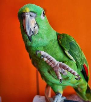 Heidenreich_parrot_delbert