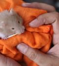 Help-a-Hamster-With-Sticky-Eye-Step-5