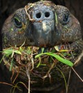 ICM_Galapagos_tortoise_eating_ChristianZeigler