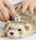 Is-my-Ferret-Sick