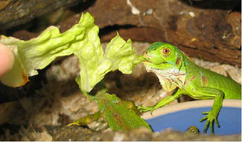 Lizard534