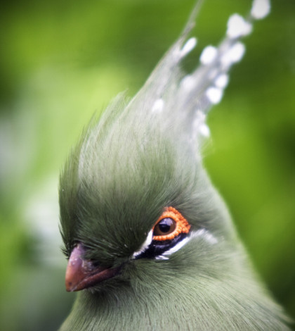 Schalow's_Turaco