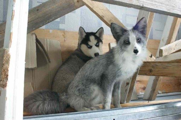 Siberian-Husky-and-fox-together
