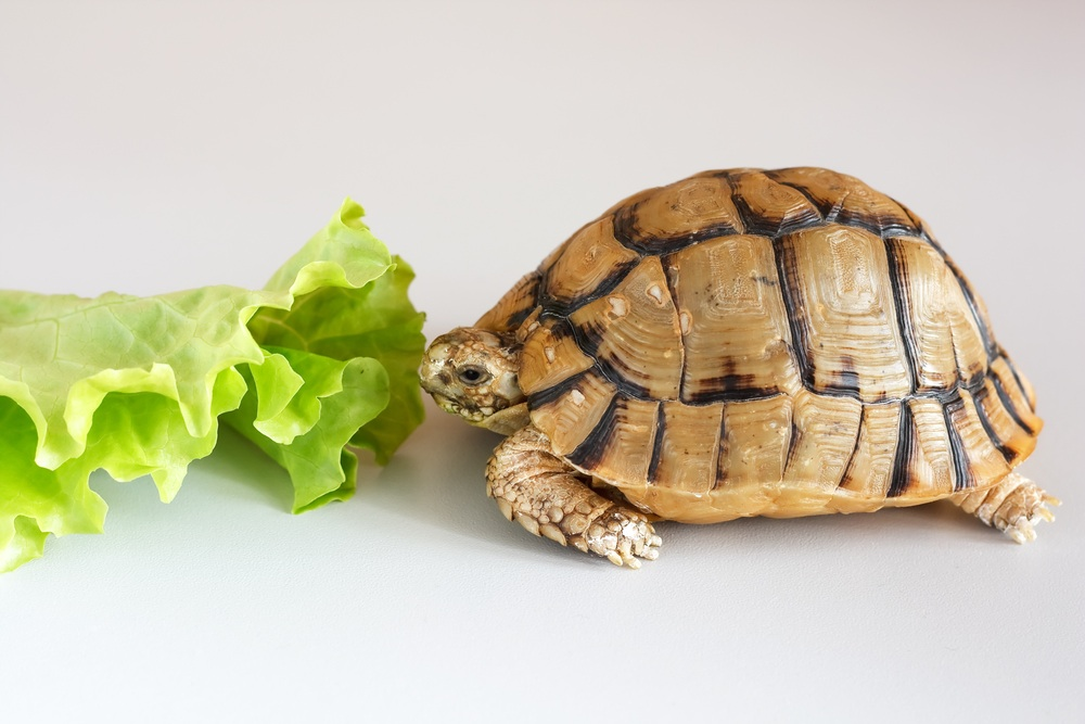 Tortoise not eating shutterstock_27444031