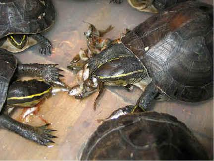 Turtle110