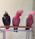 baby-parrot-galah-rose-breasted-cockatoo-51c8c4f7d02ca