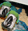 blue-and-gold-macaw-04