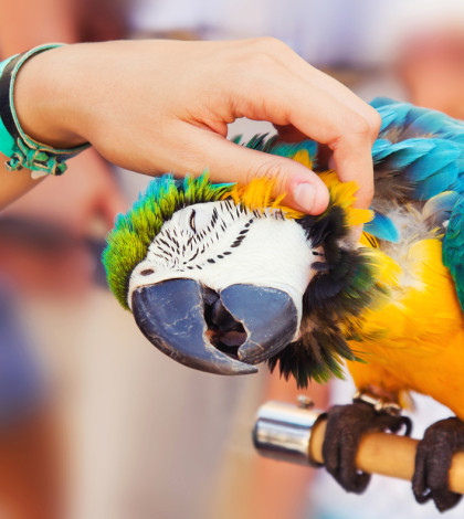 blue-and-gold-macaw-loving-getting-petted