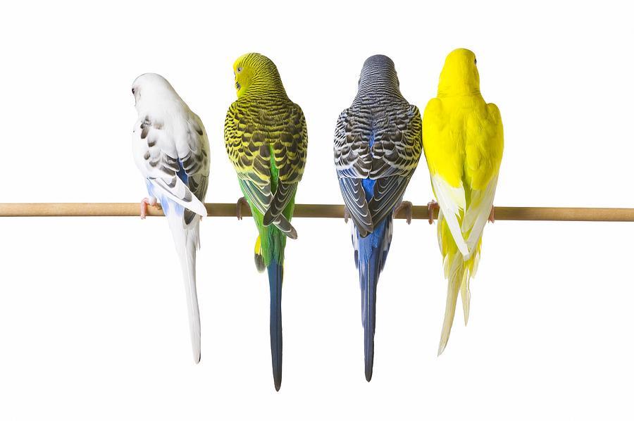 budgie-bird-posteriors-corey-hochachka