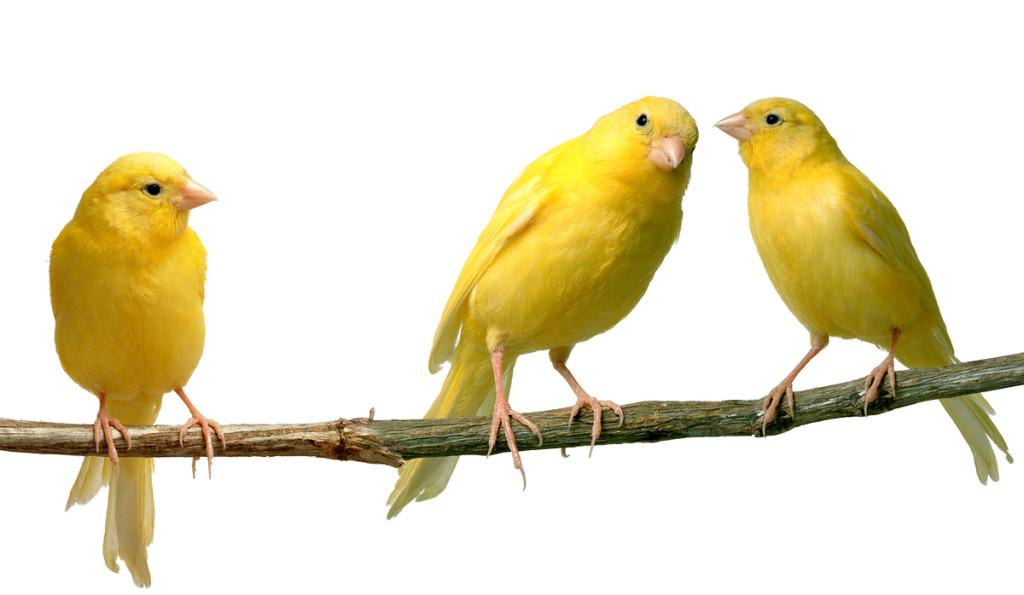canary_2
