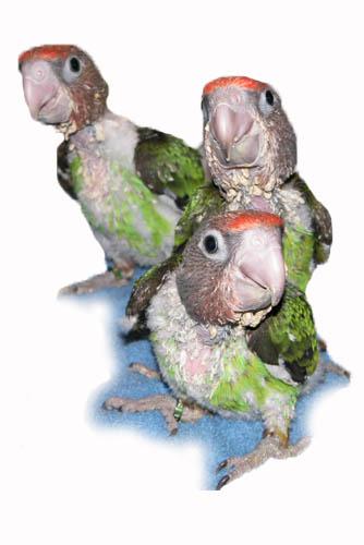 cape pollos