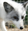 domesticated-siberian-fox-2