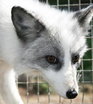domesticated-siberian-fox-2