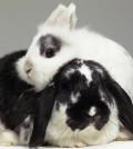 dwarf-eared-rabbit-leaning-over-lop-eared-rabbit-close-up-michael-blann