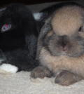 dwarf_lop_rabbits_my_bunnies_ollie_and_roxy