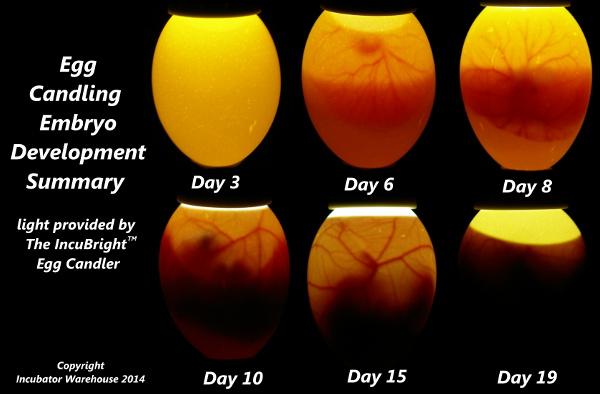 embryo-development-summary-web