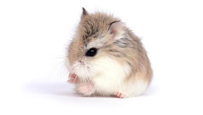 enfermedades_hamsters