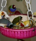 gouldian-finches-eating-mealworms