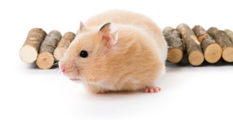 hamster-h2