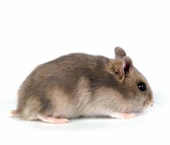 hamster-ruso-blanco-y-zafiro