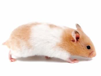 hamsters-comun-bicolor