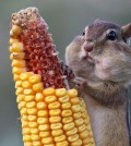 hd-chipmunk-wallpaper-with-a-chipmunk-eating-corn-wallpapers-backgrounds-pictures-photos