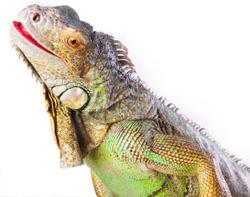 iguana-4