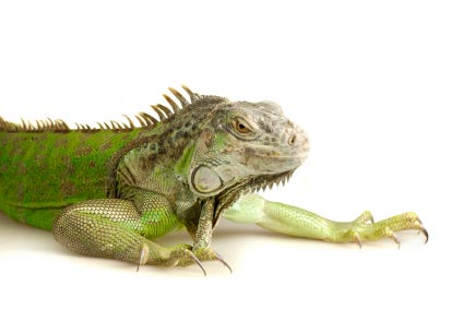 iguana-lighting-enlarge