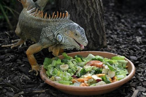 iguana-o-que-comer
