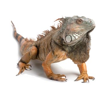 iguana-stance