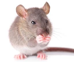 los ratones utilizan su cuerpo para transmitir mensajes a sus congneres y a sus hemos elaborado un listado de estos gestos junto a su