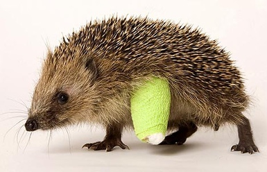 injured-hedgehog