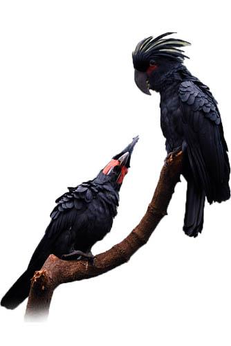 negra aterrimus